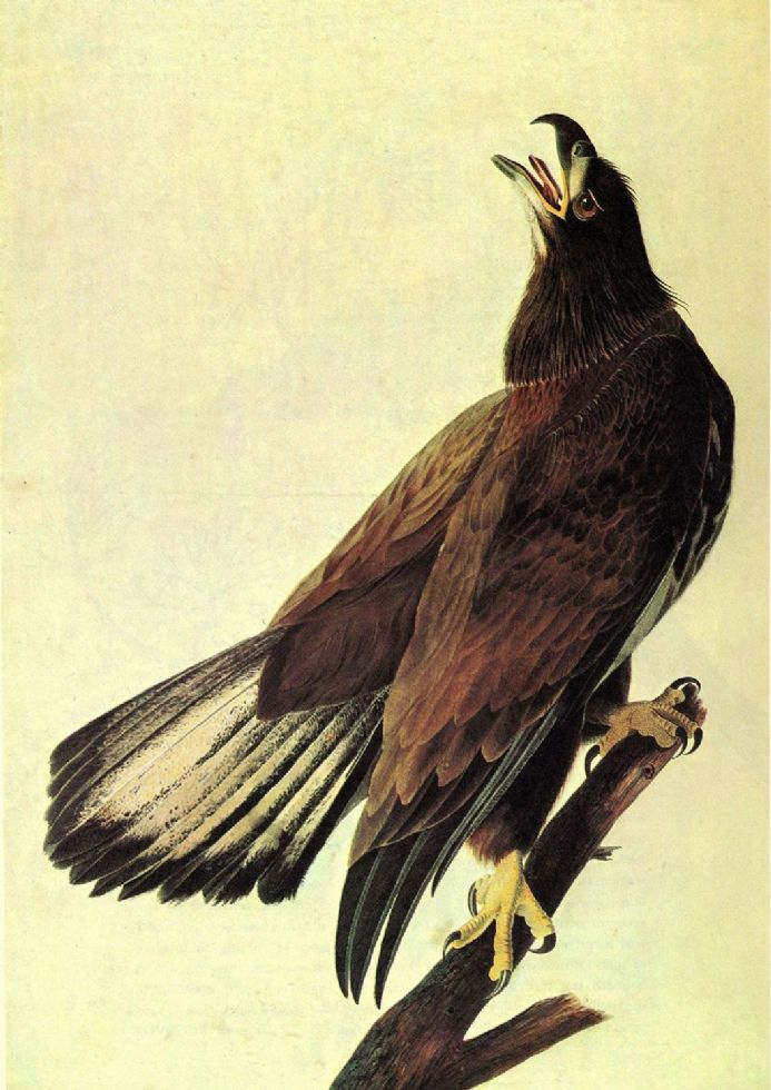 Audubon, John James: Bald Eagle. American Bird, Ornithology Fine Art Print.  (001006)